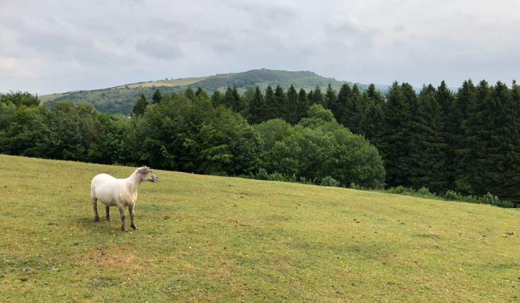 Sheep with a view