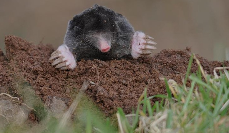 Mole above ground