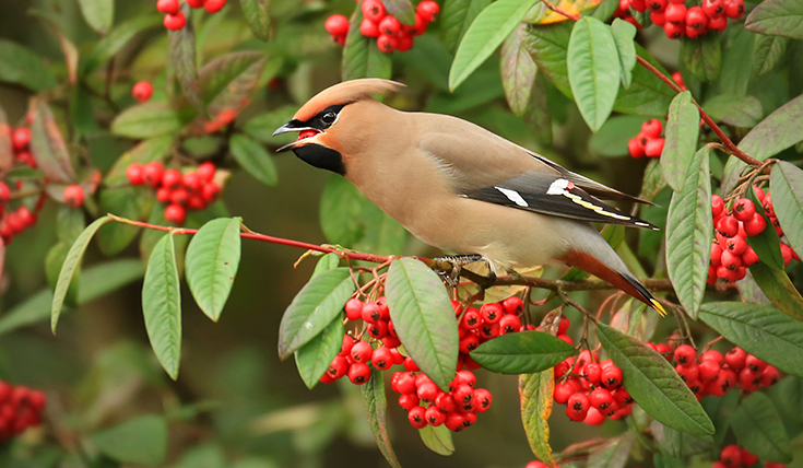 A bird sitting among berries