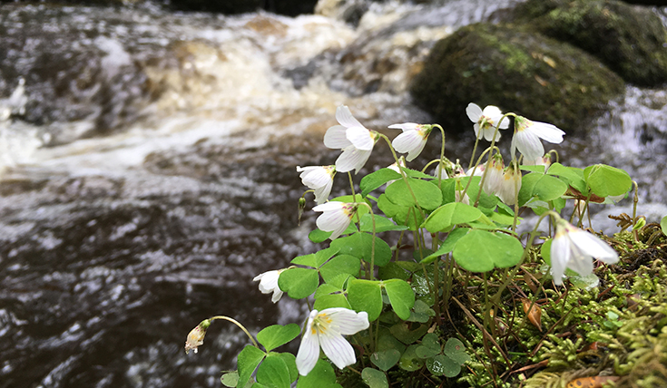 Close up photo of a plant with white flowers, beside a stream
