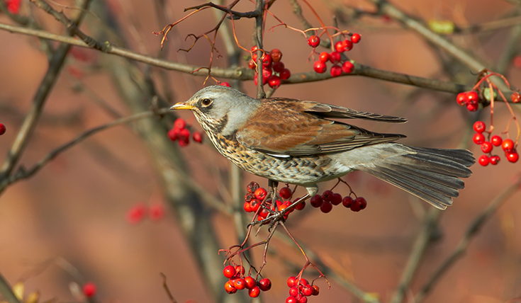 A small bird on a branch with red berries around