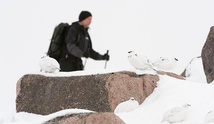 Three white birds camouflaged in the snow, on a rock, with a walker passing behind