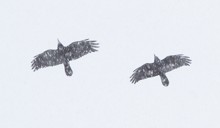 Two dark birds soaring through the sky, with snow falling