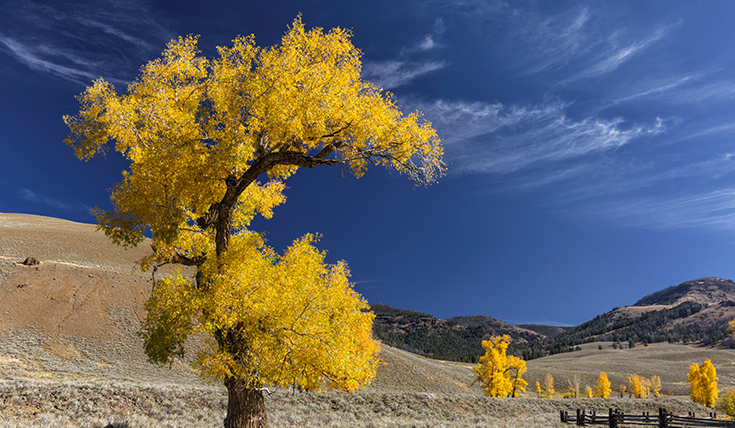 Yellow aspen trees in the foreground and blue skies, brown rolling hills and mountains.
