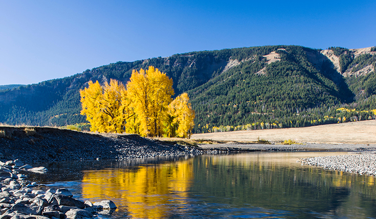 Yellow Aspen trees, Lamar river and mountains.