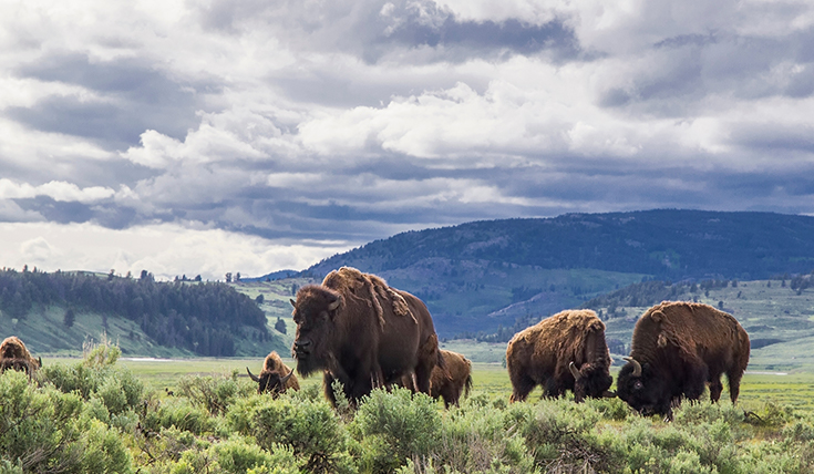 Herd of Bison grazing in the foreground, wide open land and rolling hills and mountains.