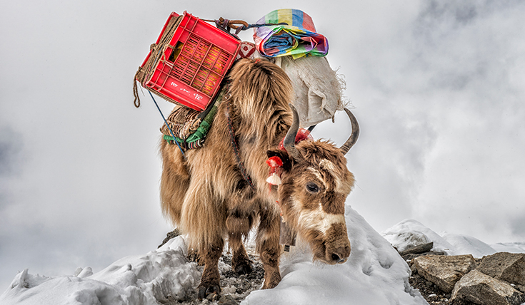 A goat carrying a load
