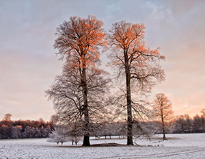 Two tall trees in a snow covered field