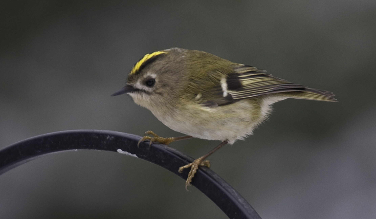 Goldcrest bird by John Harding