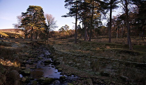 A rocky stream passing pine forests, at the end of the day