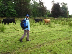 Walking near cows, Wyredale Way, Lancashire. Credit to Ian Dickin