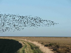 Flock of birds in Essex