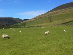 Spring lambs on Kinder Scout