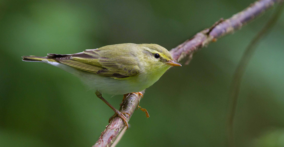 Wood Warbler by Edmund Fellowes