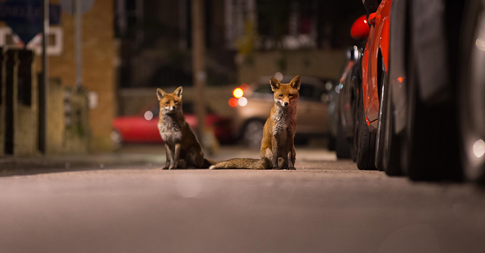 Two foxes, at night on a pavement beside cars