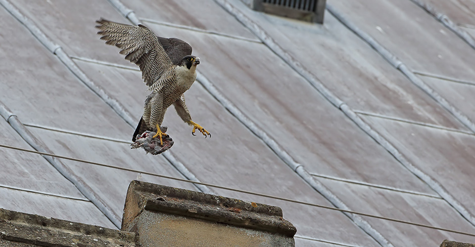 A peregrine falcon in flight, with a catch in its claws